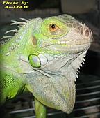 飛禽走獸:綠鬣蜥    IMG_4598
