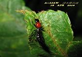 隱翅蟲:隱翅蟲     IMG_3402