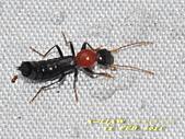 隱翅蟲:紅胸巨隱翅蟲   DSC_9456