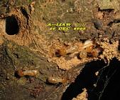 其他目---昆蟲:白蟻     IMG_1923