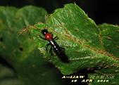 隱翅蟲:隱翅蟲     IMG_3405