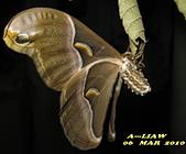 鱗翅目---蛾:眉紋天蠶蛾幼蟲IMG_8072.jpg-1