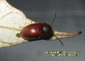 其他目---昆蟲:長花蚤 雌蟲      IMG_5111