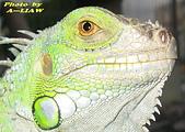 飛禽走獸:綠鬣蜥    IMG_4599