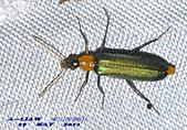 其他目---昆蟲:耀夜螢    DSC_0833