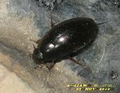 其他目---昆蟲:姬牙蟲 IMG_0274