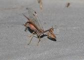 其他目---昆蟲:DSC_1163