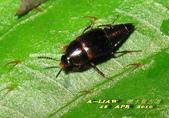 隱翅蟲:隱翅蟲     IMG_3411