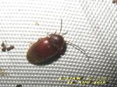 其他目---昆蟲:長花蚤 雌蟲      IMG_5098