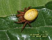 蜘蛛:金蛛科 痣蛛屬DSC_3182