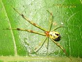 蜘蛛:姬蛛的一種(新種)Chrysso sp.    IMG_9669
