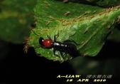 隱翅蟲:隱翅蟲     IMG_3401
