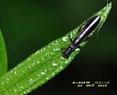 其他昆蟲館:襀 (ㄐㄧ) 翅目---石蠅  DSC_0249