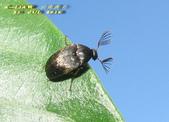 其他目---昆蟲:IMG_3409大花蚤科 Rhipiphorida
