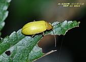 其他目---昆蟲:朽木蟲      DSC_4676