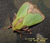 鱗翅目---蛾:褐邊綠刺蛾IMG_6264