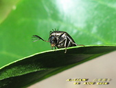 其他目---昆蟲:IMG_3401大花蚤科 Rhipiphorida