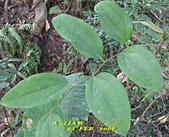 蝴蝶食草:琉璃蛺蝶的食草---菝契      IMG_4026