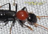 隱翅蟲:紅胸巨隱翅蟲   DSC_9460.jpg-1