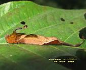 鱗翅目---蛾:波帶鉤蛾幼蟲     IMG_0330