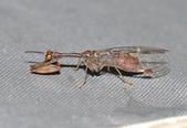 其他目---昆蟲:DSC_1191