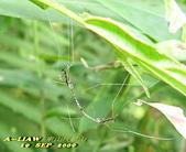 大蚊:萬麗長大蚊    IMG_4769