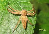 蜘蛛:豹紋貓蛛 IMG_4672