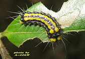 鱗翅目---蛾:玉帶斑蛾的幼蟲     IMG_1594