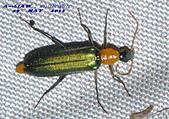其他目---昆蟲:耀夜螢    DSC_0831