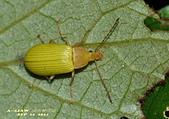 其他目---昆蟲:朽木蟲      DSC_4691
