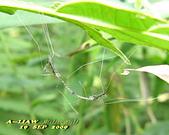 大蚊:萬麗長大蚊    IMG_4768