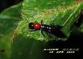 隱翅蟲:隱翅蟲     IMG_3400