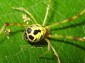 蜘蛛:姬蛛的一種(新種)Chrysso sp.   IMG_9672