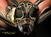 鞘翅目─天牛:大衛大天牛(大白條天牛) Batocera davidis Deyrolle,1878     IMG_1435