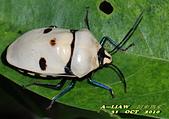 半翅目─椿象:大盾背椿象--白色型    DSC_0532