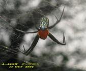 蜘蛛:泉字雲斑蛛(雄蛛)  IMG_6637
