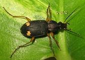 步行蟲:IMG_8756---黃星步行蟲