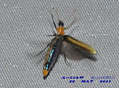 其他目---昆蟲:耀夜螢    DSC_0872