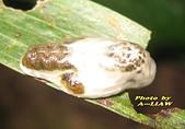 鱗翅目---蛾:小黑刺蛾的幼蟲    IMG_4205