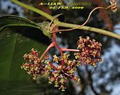 蝴蝶食草:琉璃蛺蝶的食草---菝契     IMG_4025