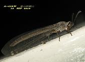 其他目---昆蟲:蟻蛉又稱為短角蛉IMG_6049