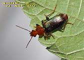 步行蟲:綠豔條紋步行DSC_9315