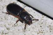 其他昆蟲館:大黑豔蟲 DSC_9353