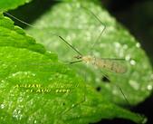 大蚊:亮大蚊IMG_2938