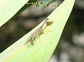 其他目---昆蟲:螳蛉 IMG_7289