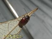 其他目---昆蟲:長花蚤 雌蟲      IMG_5103