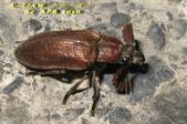 其他目---昆蟲:蟬寄甲      IMG_1105