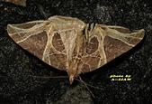 鱗翅目---蛾:IMG_4288