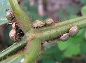 半翅目─椿象:篩豆龜椿象 IMG_3659