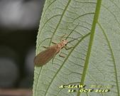 其他昆蟲館:襀 (ㄐㄧ) 翅目---石蠅  DSC_0657